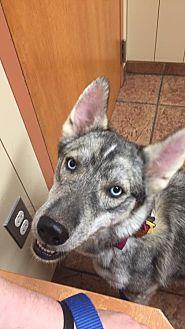 Siberian Husky Dog for adoption in Sugar Land, Texas - Akela