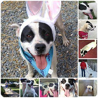 Pointer/Labrador Retriever Mix Dog for adoption in Eden, North Carolina - Candy