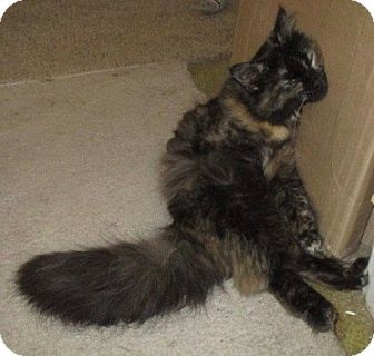 Maine Coon Cat for adoption in detroit, Michigan - Bella-adopted