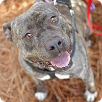 American Staffordshire Terrier Dog for adoption in Summerville, South Carolina - Hilda