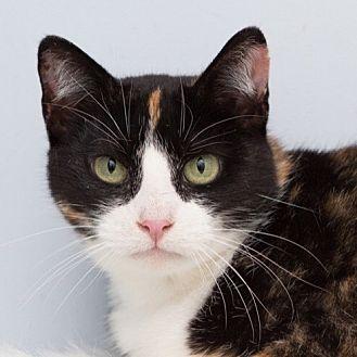 Domestic Shorthair Cat for adoption in Toronto, Ontario - Treadwell