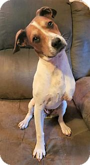 Hound (Unknown Type)/Jack Russell Terrier Mix Dog for adoption in Greenville, South Carolina - Emma