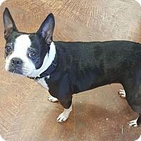 Boston Terrier Dog for adoption in Baton Rouge, Louisiana - Boston--ADOPTION PENDING
