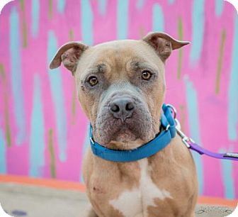 Pit Bull Terrier/Boxer Mix Dog for adoption in St. Louis, Missouri - Lefty