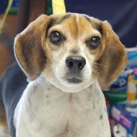 Beagle Mix Dog for adoption in Brooklyn, New York - Gill