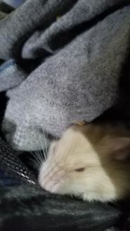 Hamster/Hamster Mix for adoption in Galveston, Texas - Babs