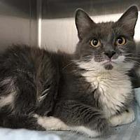 Adopt A Pet :: Felicia - Merrifield, VA