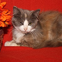 Domestic Mediumhair Cat for adoption in Marietta, Ohio - Lisa Marie