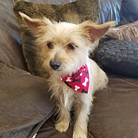 Havanese/Yorkie, Yorkshire Terrier Mix Dog for adoption in Inland Empire, California - LADY