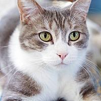 Domestic Shorthair Cat for adoption in St Louis, Missouri - Pecan
