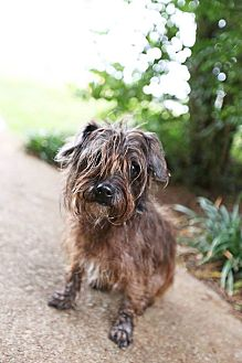 Cairn Terrier/Terrier (Unknown Type, Small) Mix Dog for adoption in Allentown, Pennsylvania - Jester