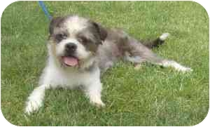 Shih Tzu/Lhasa Apso Mix Dog for adoption in Provo, Utah - Gracie
