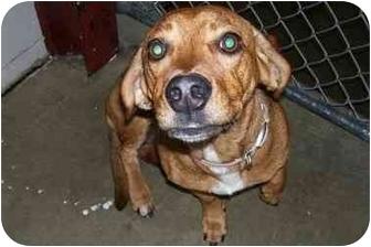 Beagle/Dachshund Mix Dog for adoption in Osceola, Arkansas - Pookie