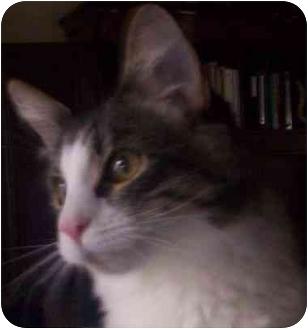 Domestic Mediumhair Kitten for adoption in Lake Arrowhead, California - Ewok