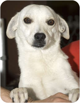 Chihuahua Mix Dog for adoption in Tangent, Oregon - Anthony