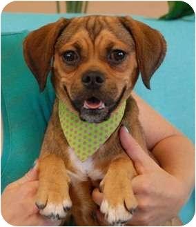 Pug/Beagle Mix Dog for adoption in Las Vegas, Nevada - Lilac