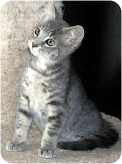 Domestic Shorthair Kitten for adoption in Smithfield, North Carolina - Chevy