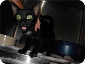 Domestic Shorthair Kitten for adoption in San Clemente, California - ISABELLA