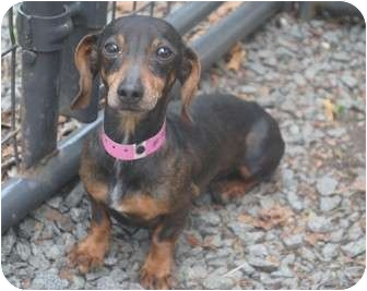 Dachshund Dog for adoption in Medford, New Jersey - Allie