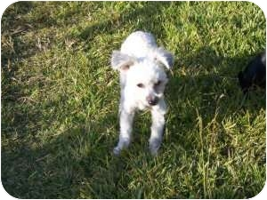 Poodle (Miniature)/Bichon Frise Mix Dog for adoption in Mary Esther, Florida - Trixie
