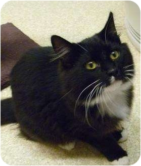 Domestic Shorthair Cat for adoption in Grants Pass, Oregon - Tuxxie
