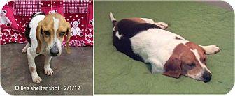 Beagle Dog for adoption in Waldorf, Maryland - Olivander