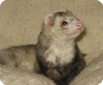 Ferret for adoption in South Hadley, Massachusetts - Baby