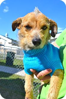Terrier (Unknown Type, Small) Mix Dog for adoption in Corpus Christi, Texas - Radar