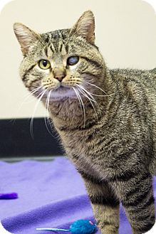 Domestic Shorthair Cat for adoption in Chicago, Illinois - Harvey