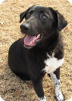 Labrador Retriever/Great Pyrenees Mix Dog for adoption in Somers, Connecticut - Baby Girl