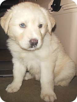Labrador Retriever Mix Puppy for adoption in Richmond, Virginia - Lizzie(Daisy pup)