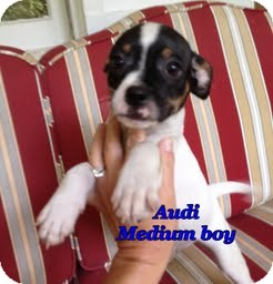 Boston Terrier/Chihuahua Mix Puppy for adoption in Plainfield, Connecticut - Audi