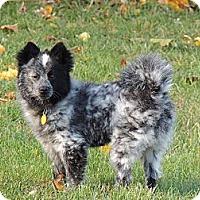 Adopt A Pet :: Morty - Blue Merle - Mt Gretna, PA