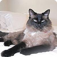 Adopt A Pet :: Coco Chanel - Laguna Woods, CA