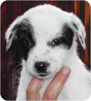 Border Collie/Labrador Retriever Mix Puppy for adoption in El Segundo, California - BC/Lab #1