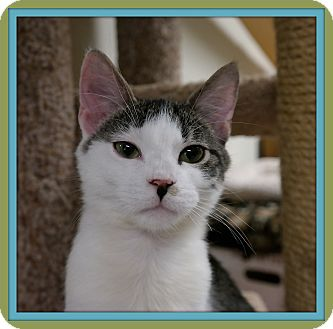 Domestic Shorthair Kitten for adoption in Trevose, Pennsylvania - Rigatoni