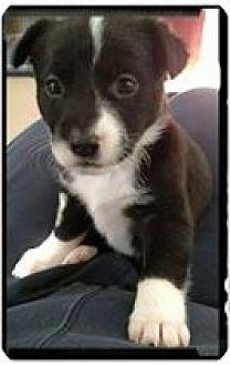 Labrador Retriever/Husky Mix Puppy for adoption in Garden City, Michigan - Skunk