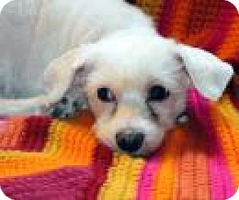 Maltese Mix Dog for adoption in Wayne, New Jersey - Sophy