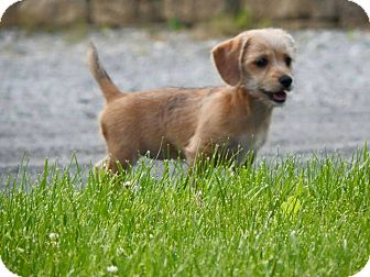 Dachshund/Cairn Terrier Mix Puppy for adoption in New Oxford, Pennsylvania - Poppy