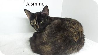 Domestic Shorthair Cat for adoption in Crown Point, Indiana - Jasmine