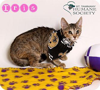 Domestic Shorthair Kitten for adoption in Covington, Louisiana - Iris
