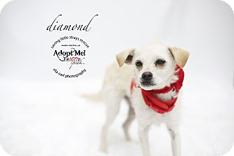 Wirehaired Fox Terrier/Chihuahua Mix Puppy for adoption in Aqua Dulce, California - Diamond