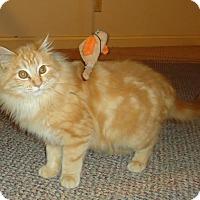 Adopt A Pet :: Sprinkles - Columbus, OH