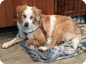 Spaniel (Unknown Type)/American Eskimo Dog Mix Dog for adoption in West Milford, New Jersey - MOLLY