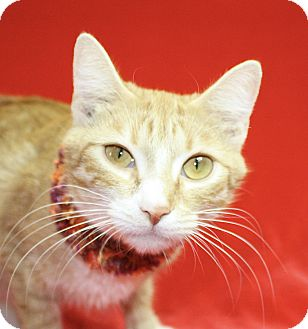 Domestic Shorthair Cat for adoption in Jackson, Michigan - Bambi