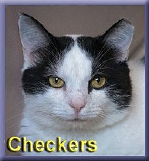 Domestic Shorthair Cat for adoption in Aldie, Virginia - Checkers