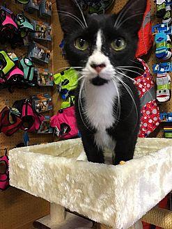 American Shorthair Cat for adoption in Scottsdale, Arizona - Larry