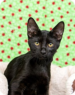 Domestic Shorthair Kitten for adoption in Cincinnati, Ohio - Blackberry