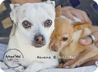 Chihuahua Mix Dog for adoption in Inland Empire, California - HAVANNA