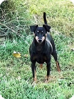 Miniature Pinscher Dog for adoption in Holland, Ohio - Klink